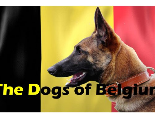 The Ultimate Guide – Dogs of the World – Belgium